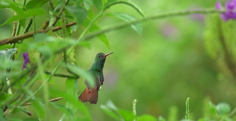 kolibrie vogel in la Fortuna