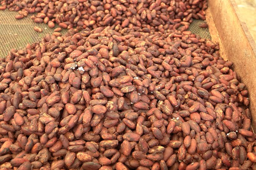 cacaobonen at finca la amistad