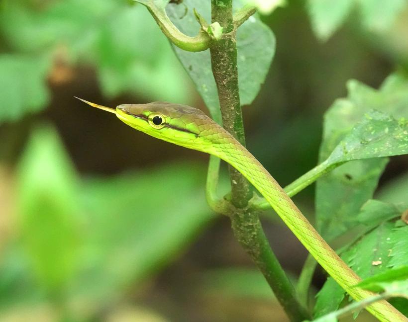vine snake in rio celeste