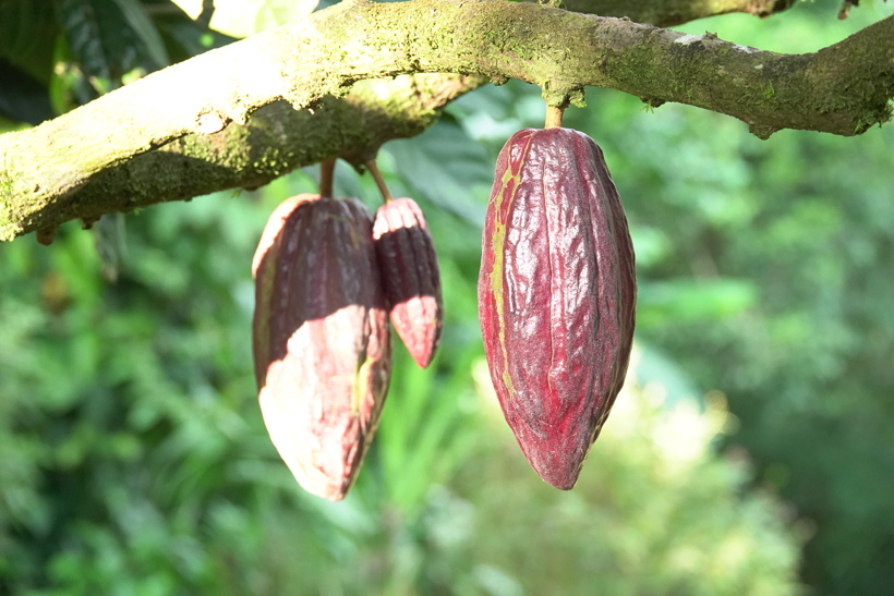 cacao tree at finca la Amistad cacao lodge