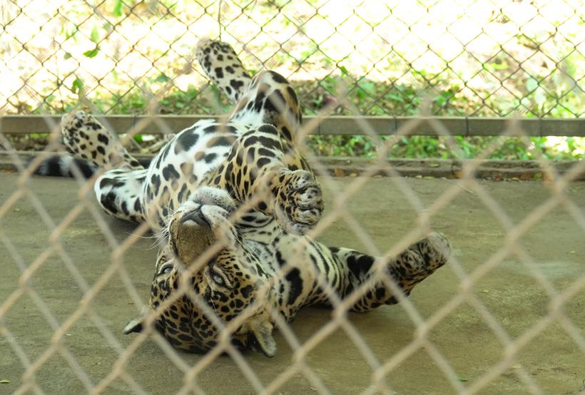 blinde jaguar in Centro rescate las pumas