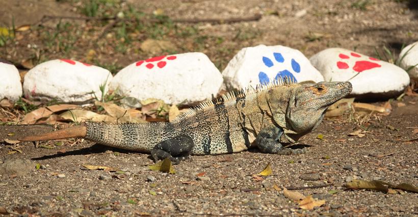 iguana iguana met gevilde staart op parking van Centro rescate las pumas
