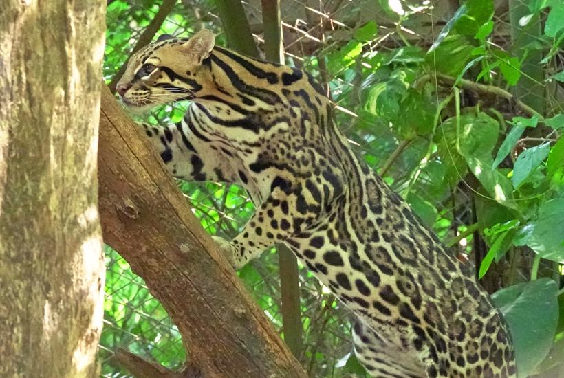 resident ocelot in Centro rescate las pumas