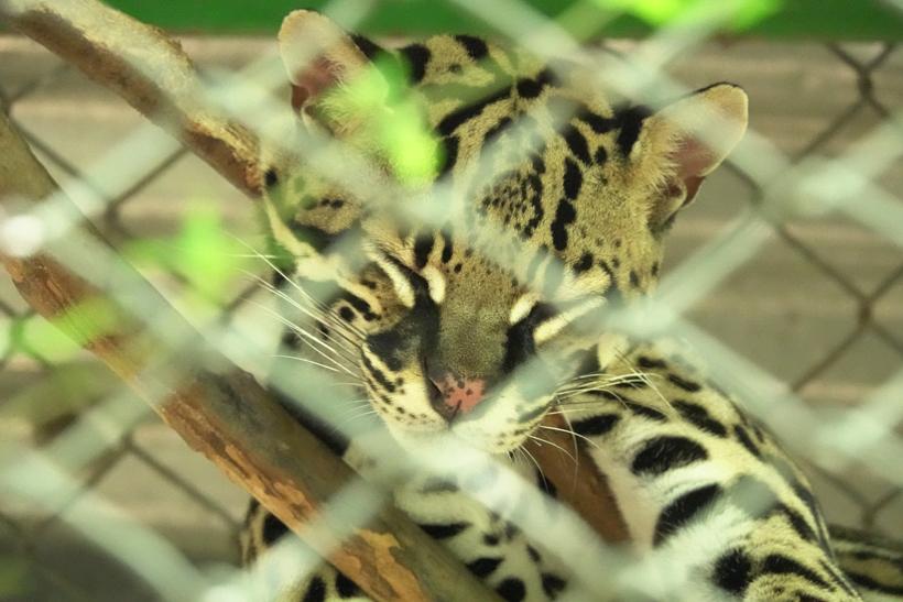 Ocelot in Centro rescate las pumas