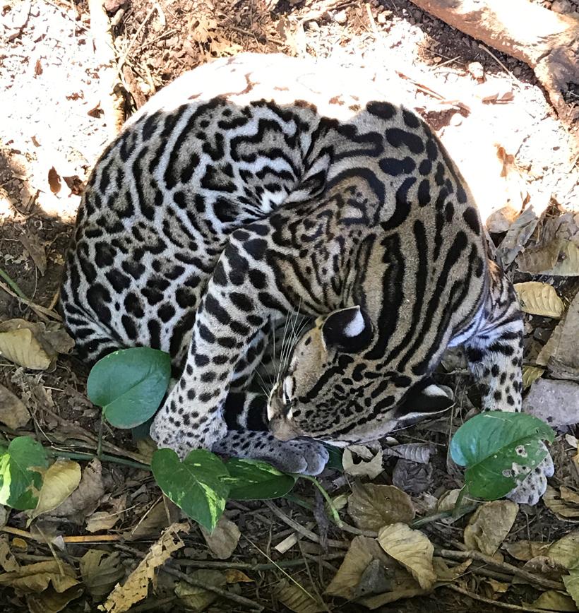 ocelot white spots on ears to fool jaguar