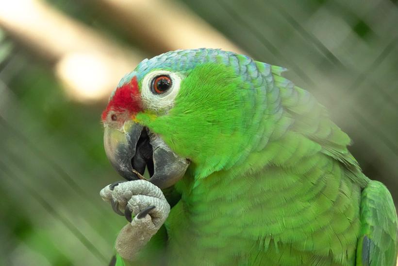 parrot in Centro rescate las pumas