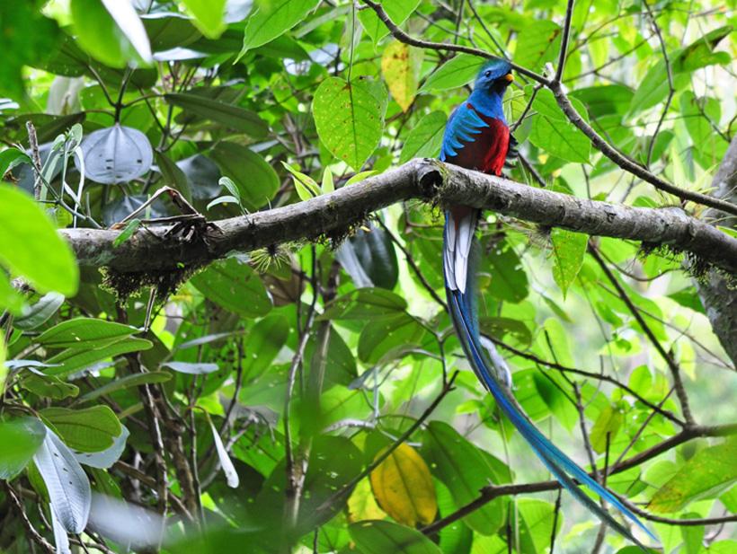 quetzal in nevelwoud costa rica