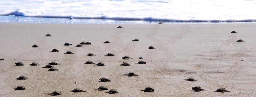 zeeschildpadjes costa rica