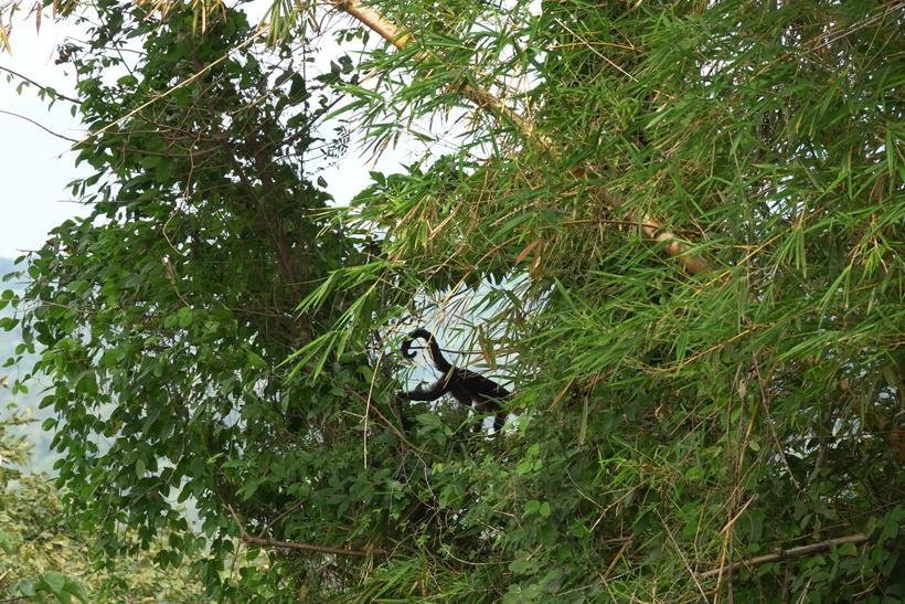 kapucijnaap in bamboe in Mal País
