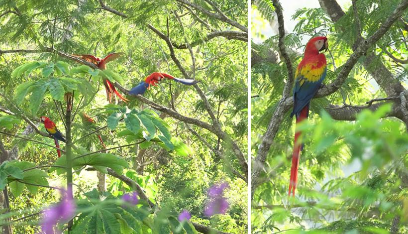 Scarlet Macaws in Punta Islita