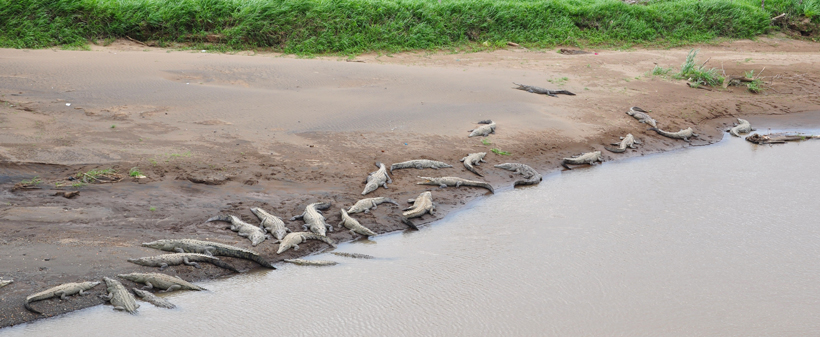 krokodillen in Tarcoles
