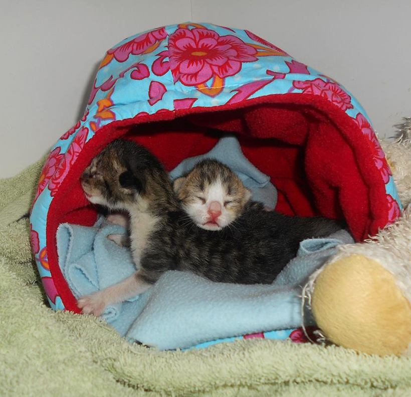 babykittens in couveuse