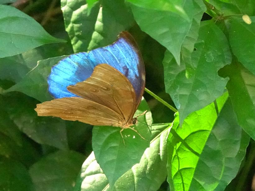 blue morpho in ojochal