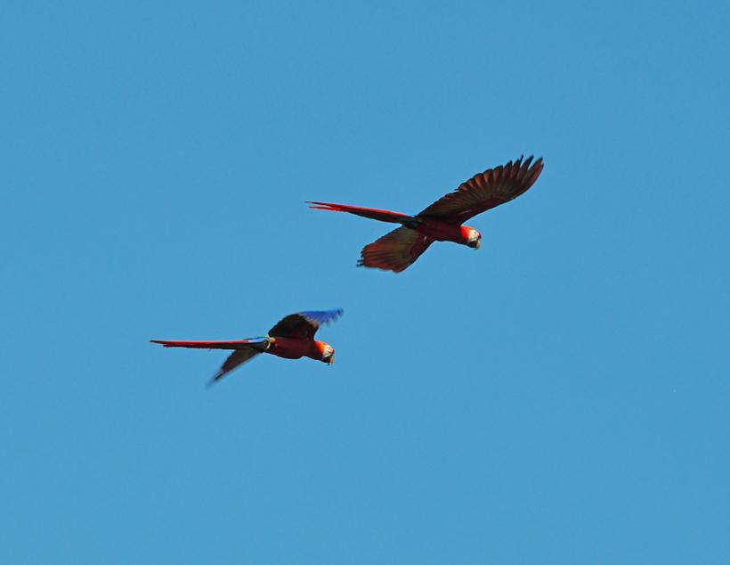 scarlet macaws in Drake Bay