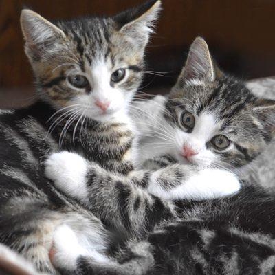 Waarom een duo kittens adopteren?
