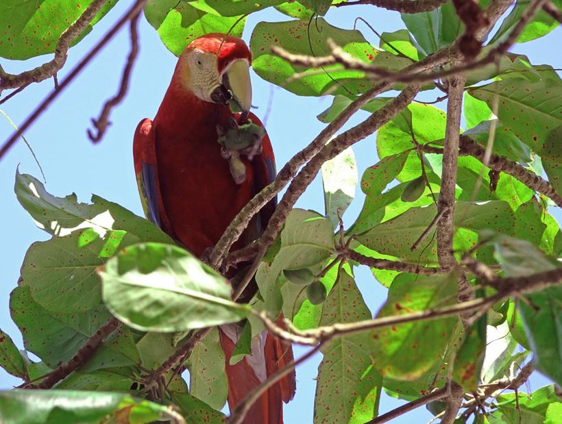 Scarlet Macaw eet amandelnoot