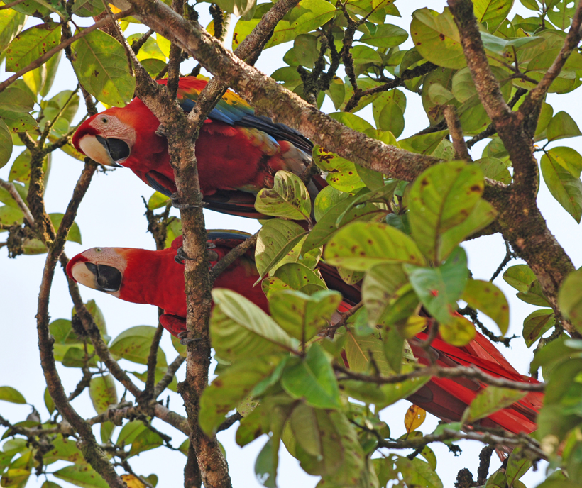 duo sclarlet macaws kijkt omlaag in Drake Bay