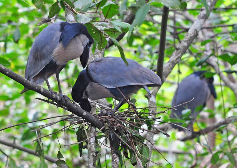 boat billed reigers in Cahuita nationaal park
