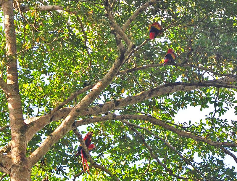 Sierpe scarlet macaws