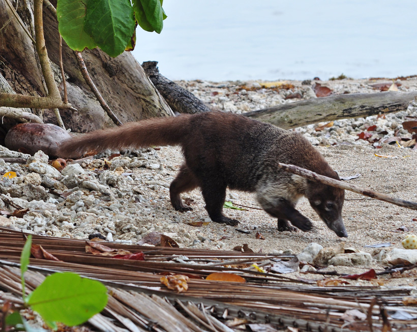 coati in Cahuita nationaal park