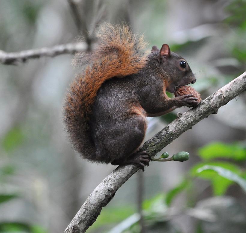 eekhoorn in Cahuita nationaal park