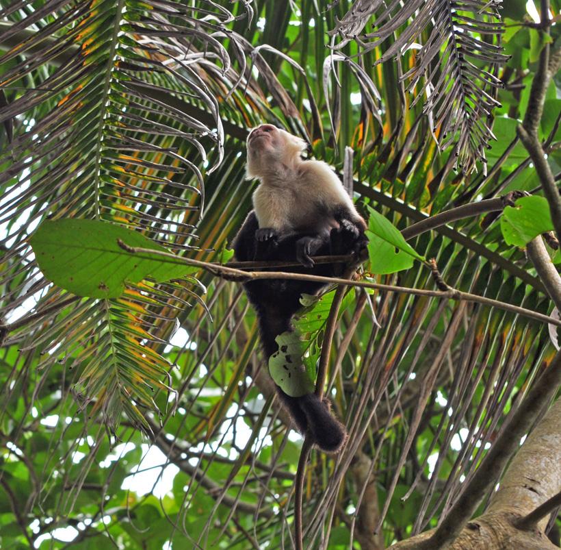 kapucijn in Cahuita nationaal park
