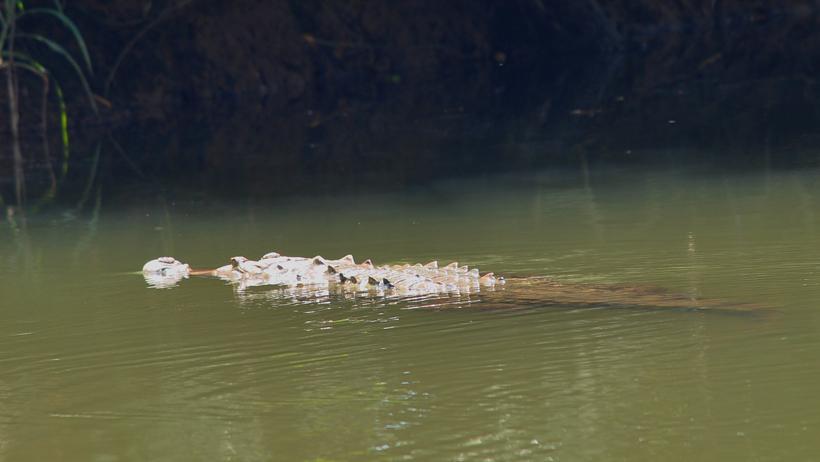 krokodil in de Sierpe rivier