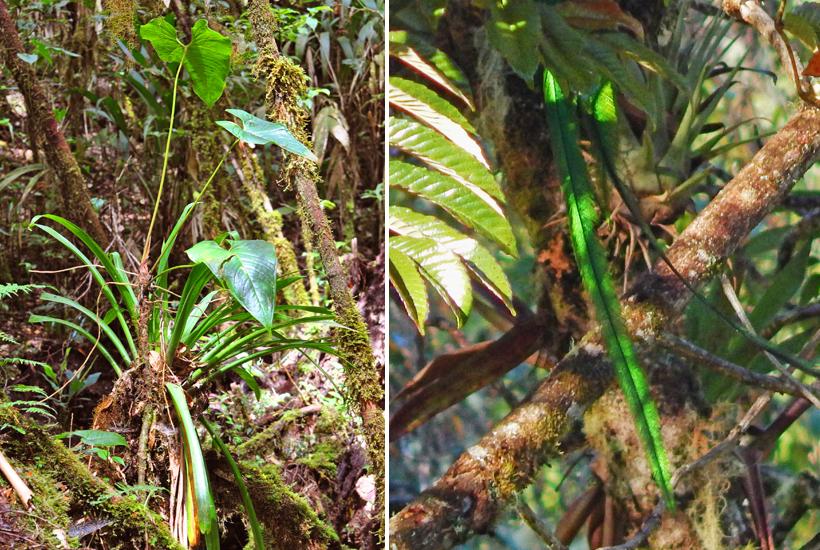 groene staart van quetzal in nevelwoud
