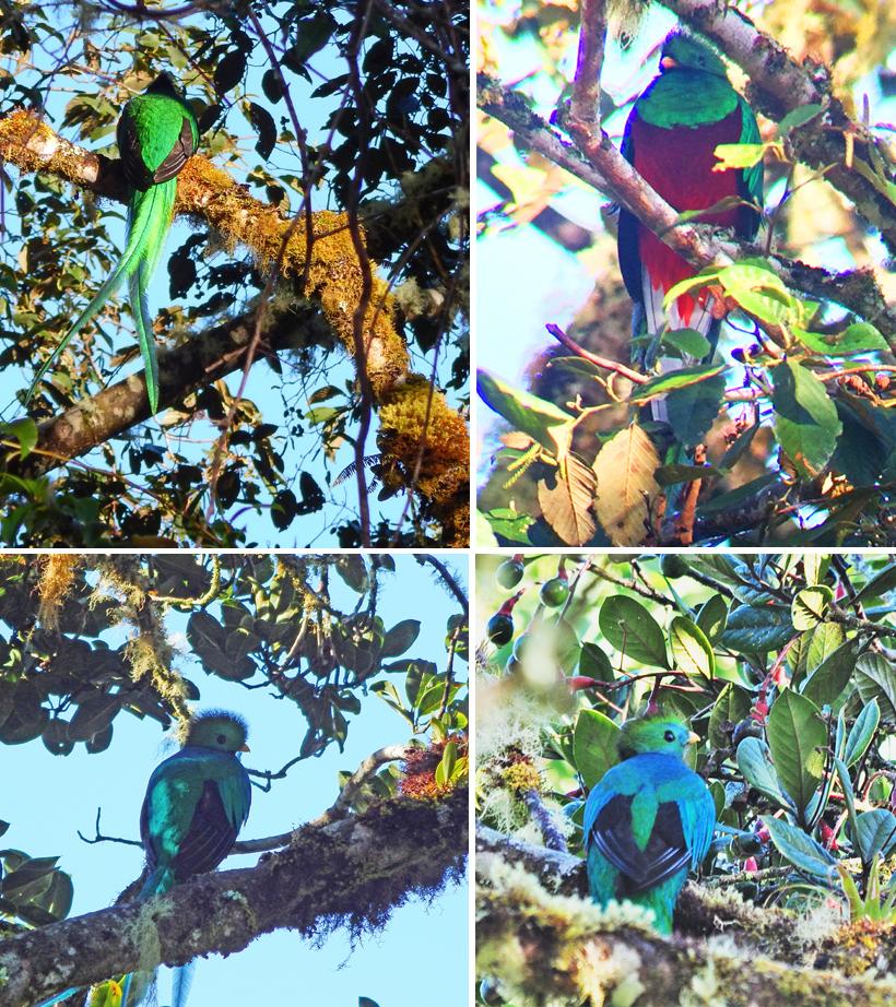 quetzal in cerro de la muerte