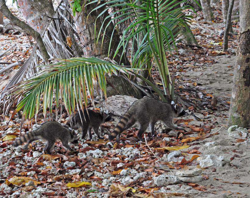 wasberen op het strand in Cahuita nationaal park