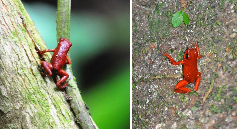 rode pijlgifkikker in Cahuita nationaal park
