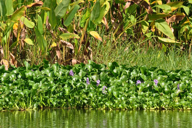 waterplanten langs de oever van de Sierpe rivier