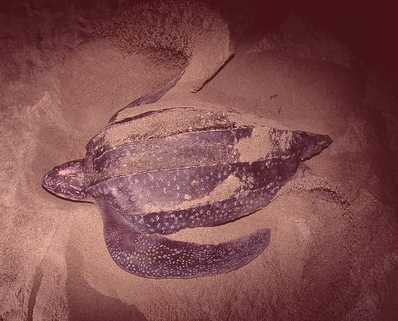 lederschildpad legt eieren