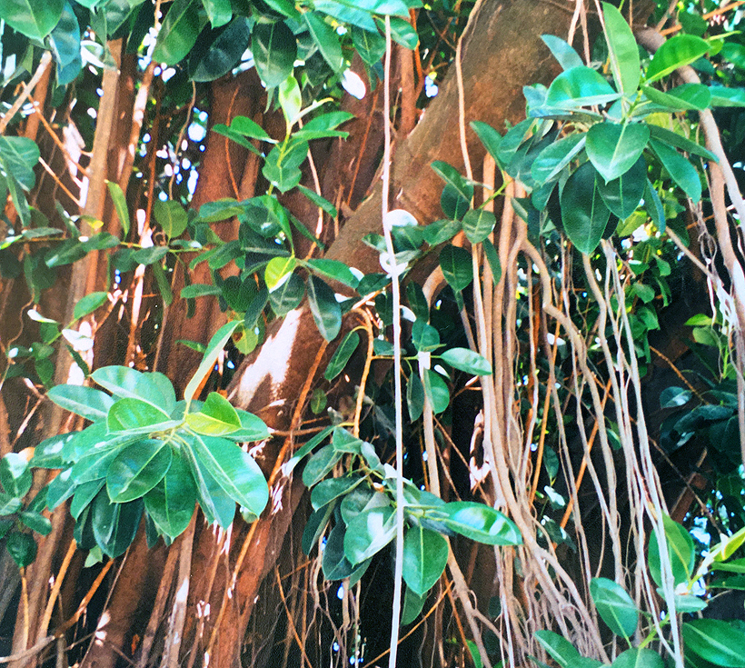 rubberboom in Rincon de la Vieja