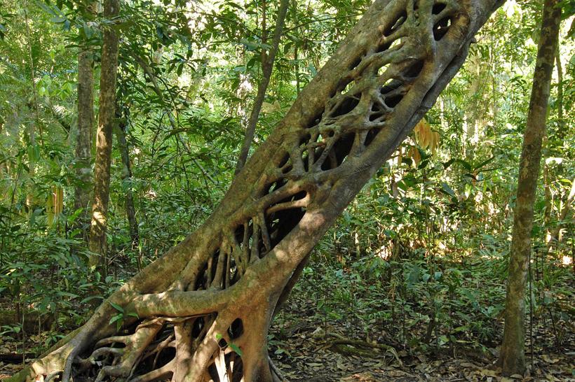 bomen in Rincon de la Vieja