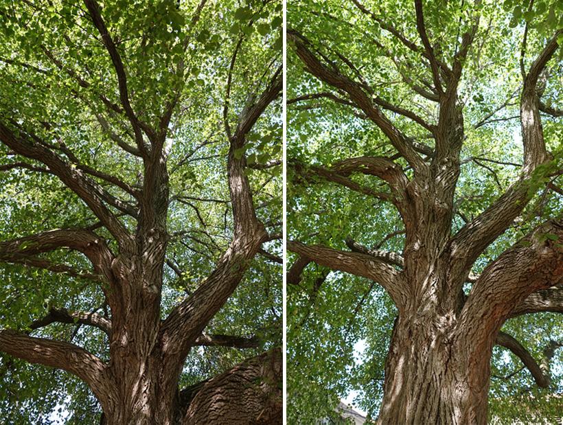 oude bomen op Cres