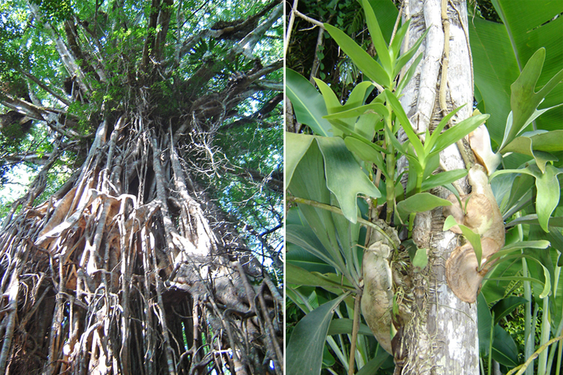 catedral fig tree