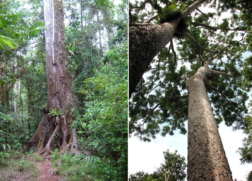 ceder en dennenbomen in tropisch Queensland