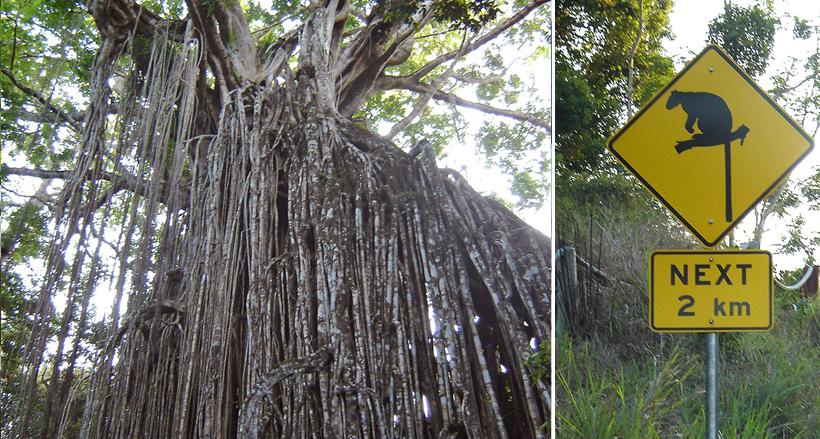 curtain fig tree in tropisch Queensland