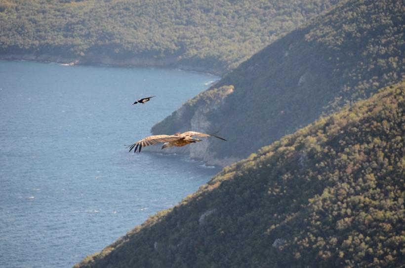 vale gieren vliegen langs kliffen op eiland Cres