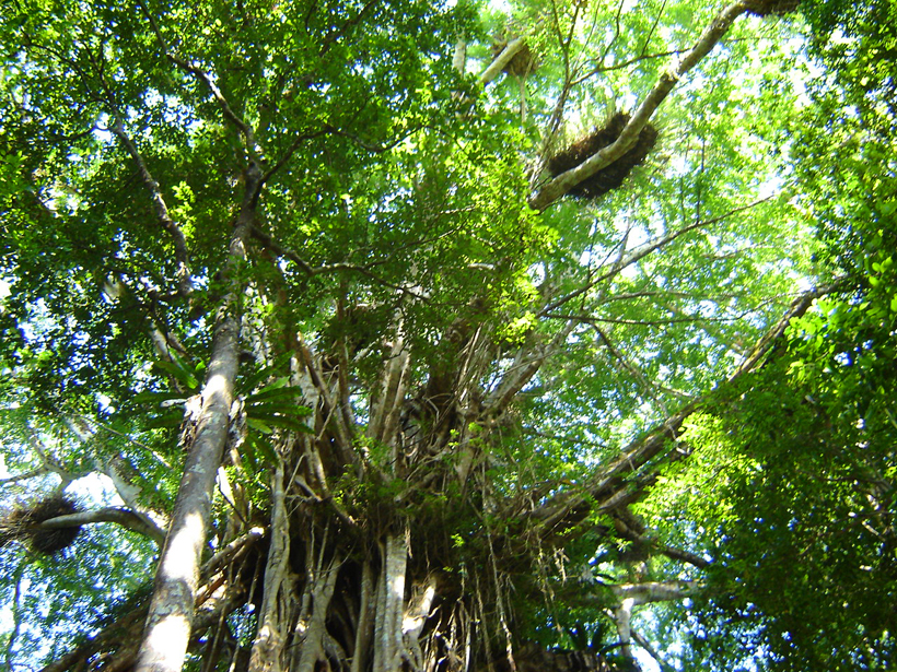 catedral fig tree Queensland