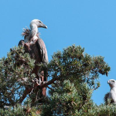 Opvang voor vale gieren: Beli griffon vulture rescue center