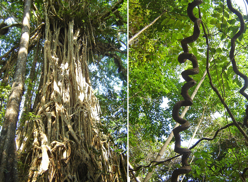 wurgbomen en lianen in regenwoud in tropisch Queensland