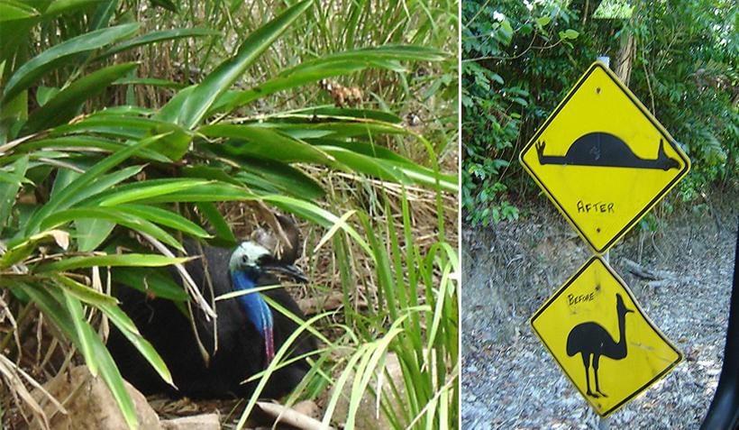 kassuaris in tropisch Queensland