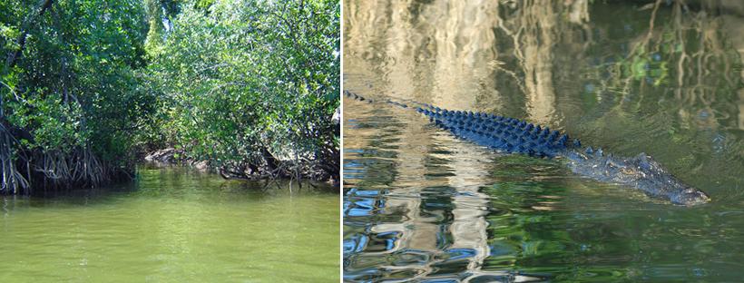 mangrove en krokodil daintree