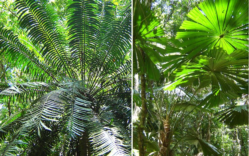 palmen in tropisch Queensland