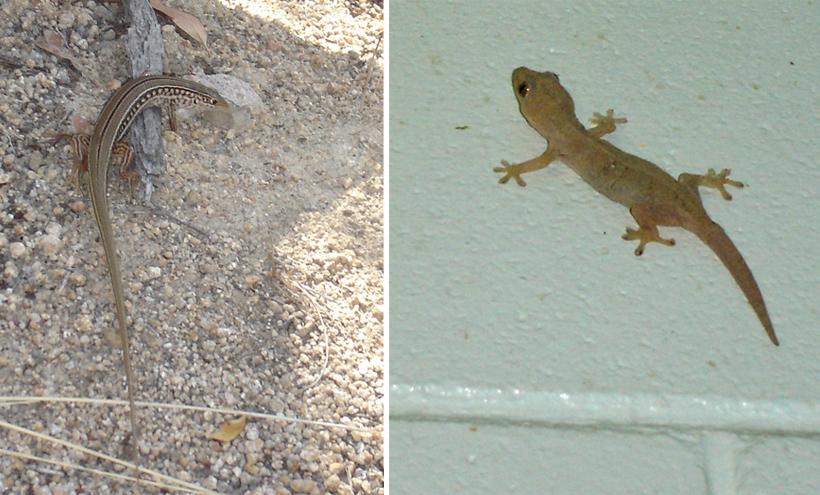 hagedis en gekko in tropisch Queensland