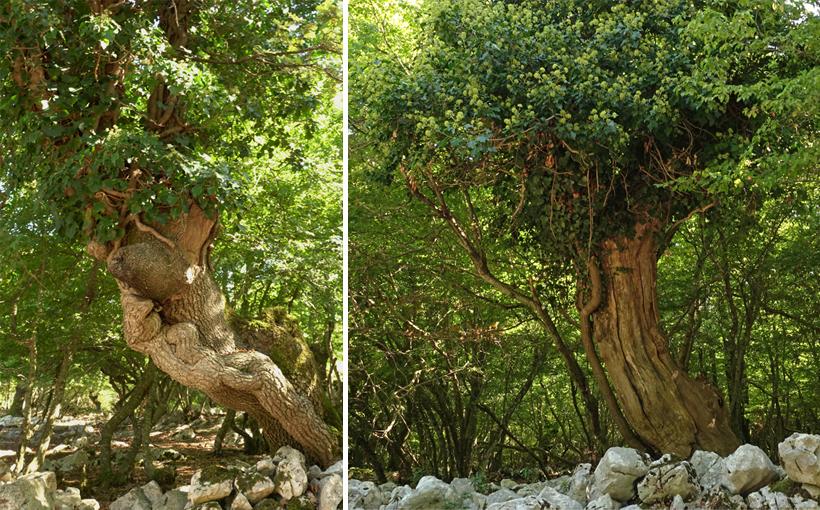 oude bomen op het eiland Cres