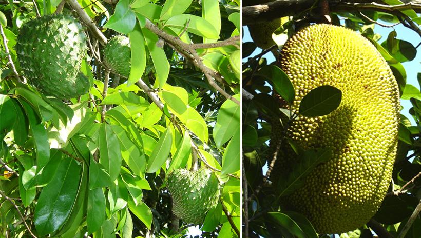 tropisch fruit in tropisch Queensland