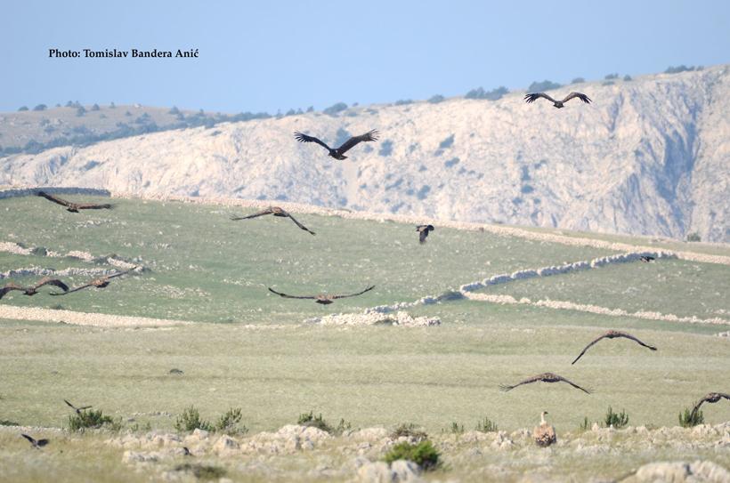 vrijlating vale gieren op eiland Cres
